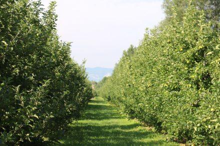 Hier wachsen die berühmten Südtiroler Äpfel direkt neben dem Etschtalradweg.