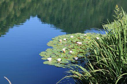 Glasklares Wasser und blühende Seerosen im Lago di Levico in Südtirol.