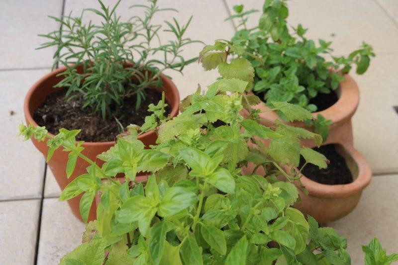Die Kräuter für mein Kräutersirup Rezept findet man auch in dem Balkon Kräutergarten.