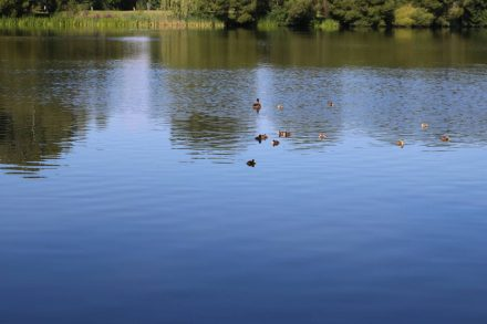 Seevögelparadies mitten in der Stadt - eine Entenfamilie im Dutzendteich.