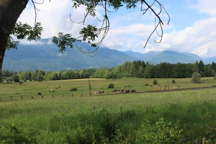 Auf saftigen Wiesen entlang des Gailtal Radwegs grasen Kühe und Pferde.