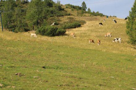 Vorbei an grasenden Kühen geht es über den Nordic Walking Steig vom Nassfeld hinauf auf die Madritsche.