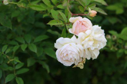 Die Rosen trotzen dem Herbstwetter.