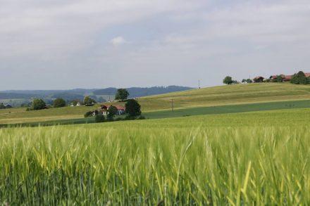 Kornfelder wohin das Auge reicht im Chiemgau.