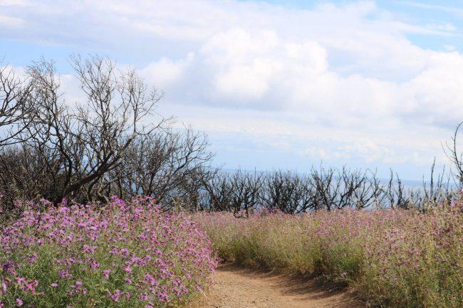 Blütenpracht auf dem fruchtbaren Boden nach den großen Küstenbränden von 2017.