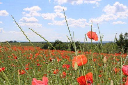 Ich liebe Mohnblumen - erst recht, wenn es ganze feurig-rote Felder sind.