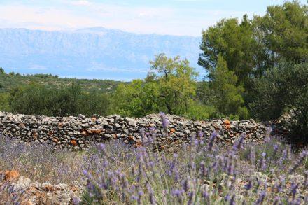 Überall auf der grünen Insel Hvar blüht der Lavendel und verströmt seinen Duft.