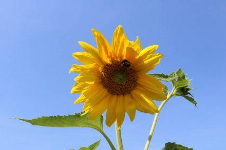 Die Sonnenblumenblüten sind auch Bienen und Hummeln willkommen.