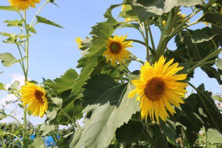 Nur wenige Sonnenblumen waren noch so frisch und gelb.