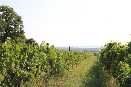 Die Weingärten auf österreichischer und ungarischer Seite rahmen den Neusiedlersee ein.