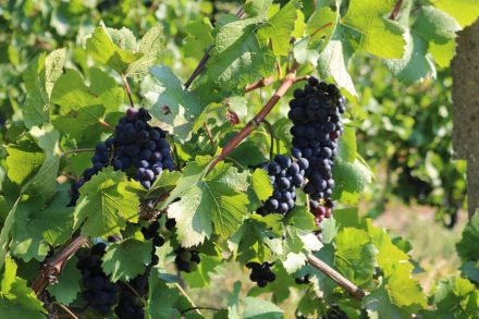 Im Burgenland werden vorwiegend rote Trauben angebaut.