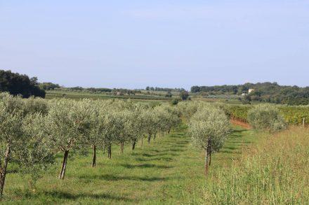 Junge Olivenbaum-Plantage.