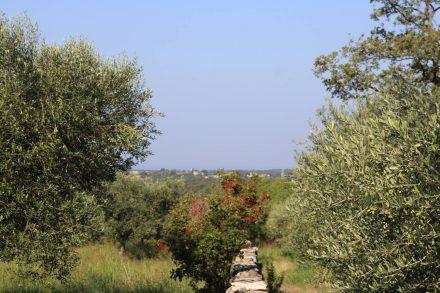 Die Olivenhaine im Hinterland.