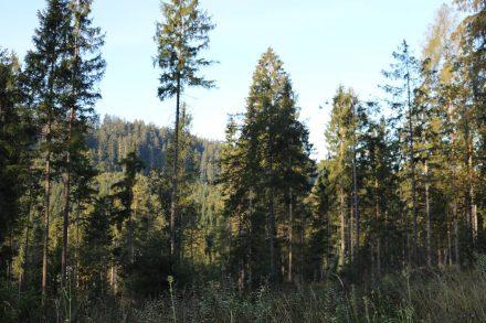 Zwischen Obervellach und Radnig liegt der naturbelassene Radniger Forst.