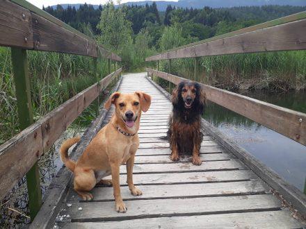 Im Presseggersee Schilfweg kreuzt eine Brücke den Zufluss zum See.