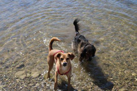 Badestrand für Hunde im glasklaren Wallersee.