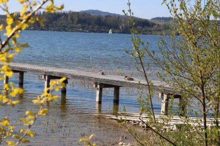 Auf Bootsstegen sonnen sich die Enten am idyllischen Wallersee.