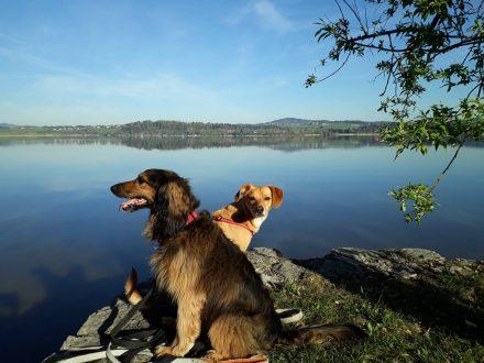 Morgenwanderung mit den Hunden am Uferweg des Wallersee entlang.