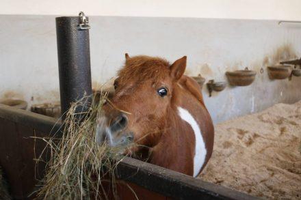 Der Versuchung von frischem Heu können auch die putzigen Ponys nicht widerstehen.