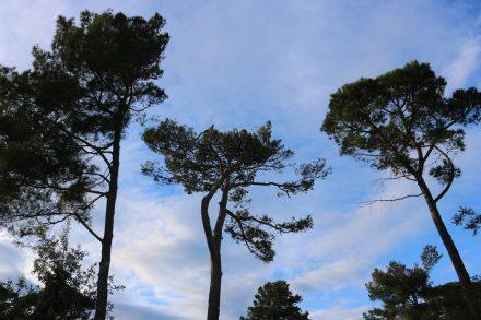 Pinienbäume unter kreisförmigen Kumulus-Wölkchen.