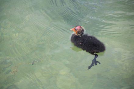 Ein flauschiges Blässhuhn-Küken im Mattsee.