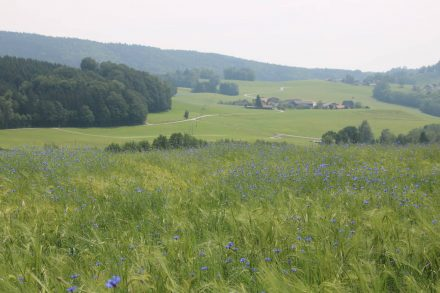 Das hügelige Salzburger Land mit grünen Wiesen, Feldern und leuchtend blauen Kornblumen.