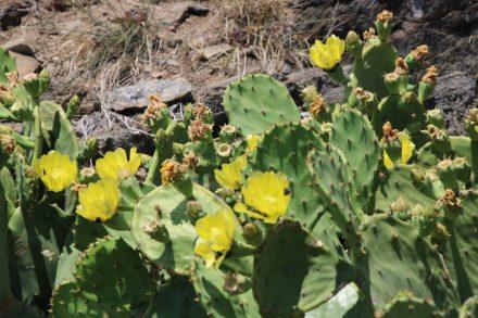 Blühende Kakteen und Wildblumen im Naturschutzpark Cap Creus.