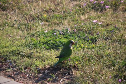 Im Areal der Festungsanlage von Roses leben wilde Papageien-Schwärme.