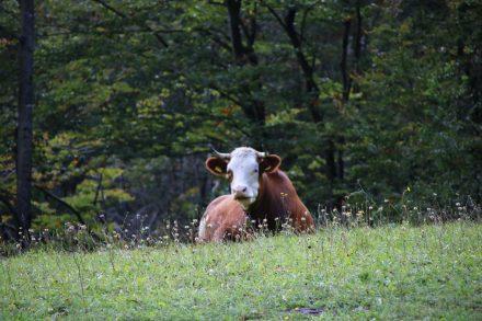 Die slowenischen Almkühe werfen uns recht gelangweilte Blicke zu.