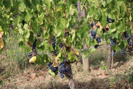 Die Weintrauben in den Weinbergen von Volpaia.