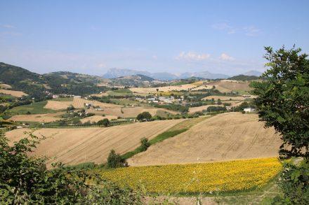 Sonnenblumenfeldgr, Wiesen, Hügel und weite Blicke im Hinterland der Marken