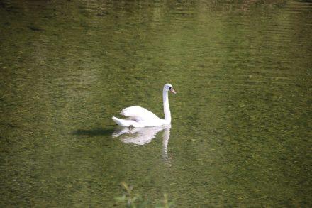 Auch die Schwäne genießen die ruhige Mangfall Flusslandschaft