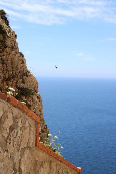 An den steilen Felswänden des Capo Caccia zeigen die Mauersegler ihre Flugkunststücke