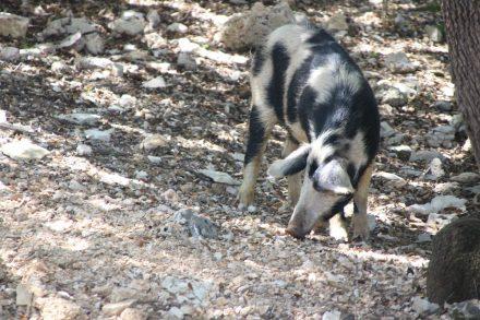 In den dichten Wäldern leben auch verwilderte Hausschweine