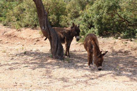 Im Naturschutzgebiet rund um Golgo leben zahlreiche wilde Esel