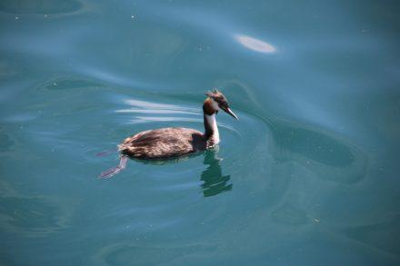 Auf dem Spiegelwasser des Comer Sees macht der Haubentaucher eine gute Figur